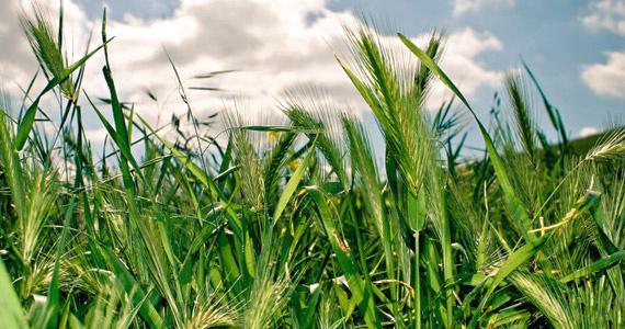 Growing Barley Grass At Home