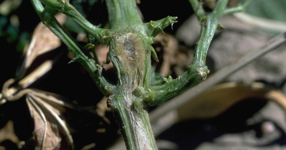 Fusarium: Pests & Diseases