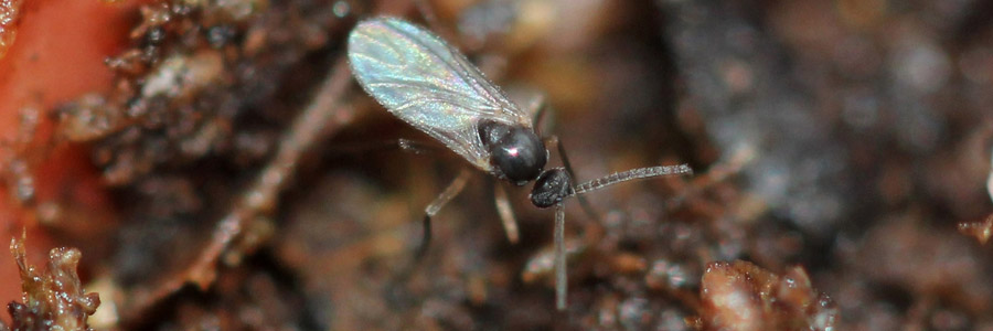 Pests & Diseases: Fungus Gnats