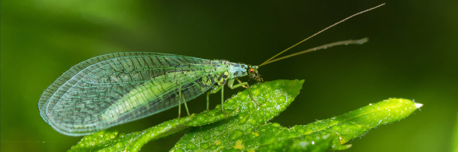 Pests & Diseases: Green Lacewing