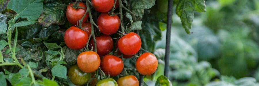 Grow it yourself: TomTato