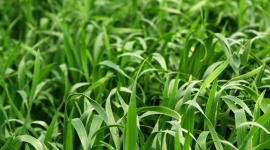 Grow it yourself: Barley grass