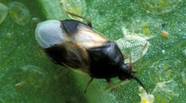 Minute Pirate Bugs - Pests & Diseases