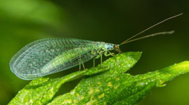 Very effective beneficial insects, the Green Lacewing