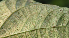 Spider mite - Pests & Diseases